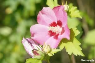 hibiscus entretien hibiscus fleur d int 233 rieur et jardin plantation