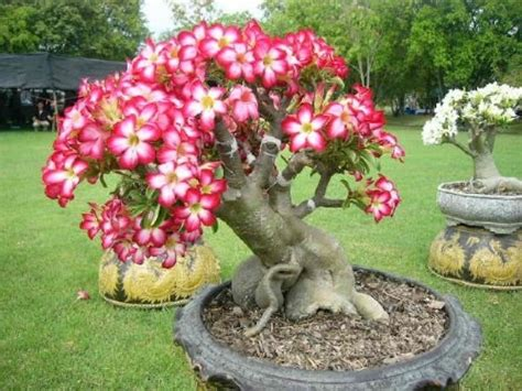 frangipani care in pots best 25 plumeria tree ideas on florida flowers florida landscaping and florida plants