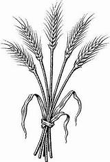 Wheat Coloring Clip Barley Clipart Bundle Tattoo Drawing Pages Drawings Dark  Bing Garden Spirituality Outline Harvest Ii Grassroots Sheets sketch template