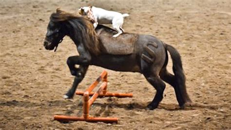 horse play jack russell rides miniature horse youtube