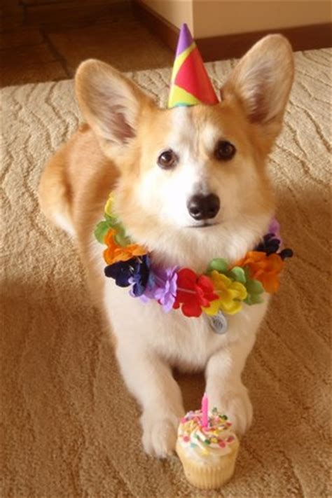 Corgi Birthday Meme - happy birthday to me the daily corgi