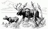 Moose Coloring Pages Pencil Wildlife Animals Template Sketch Popular sketch template