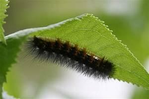 Hyde Park Insects    Caterpillar Jpg