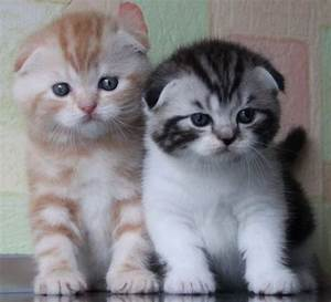 Scottish Fold kittens | cute animals | Pinterest