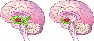 Human Anxiety And Addiction Circuits  The Bnst Is A
