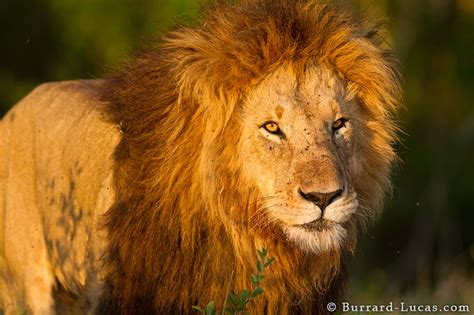 lion sunset burrard lucas photography