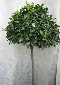 Echter Lorbeer Winterhart : floristik ausstellung laurus nobilis echter lorbeer als ~ Michelbontemps.com Haus und Dekorationen