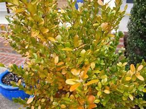 Wintergreen boxwood | pbmGarden