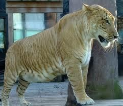 Best Images About Liger Pinterest See Ideas