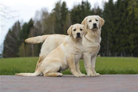 estimate  puppys adult weight