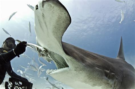 hammerhead shark pictures   fun