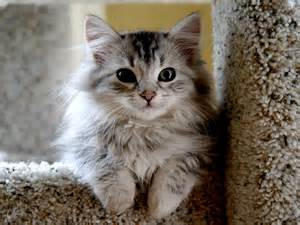 you cats siberian cat 101 things you need to