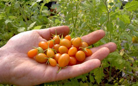 kräuter anpflanzen wohnung pflanzen kaufen taubnessel anbau pflege ernte samen kaufen marokkanische minze