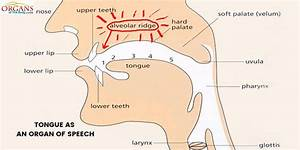 Diagram Of Speech Organs And Their Functions Choice Image ...