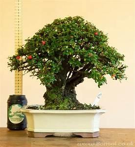 Bonsai Baum Arten : die besten 25 cotoneaster bonsai ideen auf pinterest ~ Michelbontemps.com Haus und Dekorationen