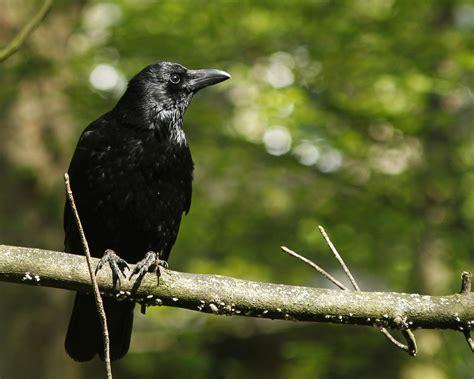 black birds landing