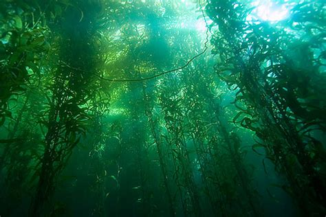 forest wallpaper oceans images kelp forest wallpaper and background Kelp