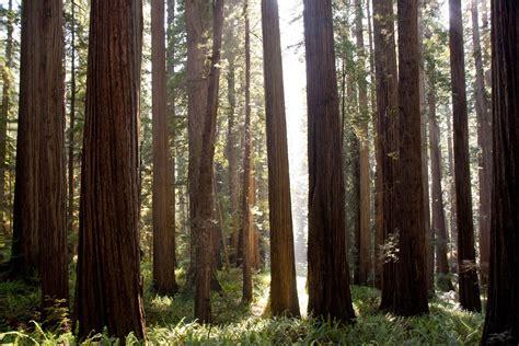Redwood Forest Hd Wallpaper