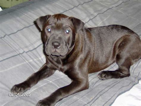 pit bull mix brindle puppies for adoption dog breeds picture