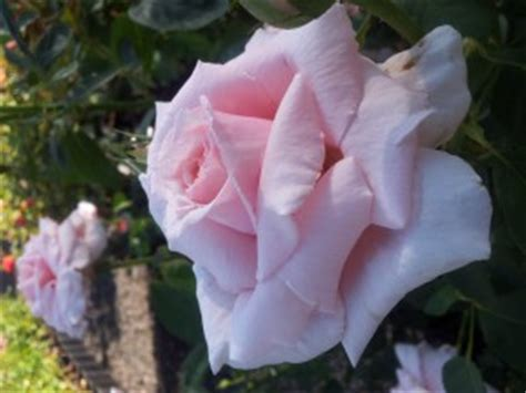 most fragrant roses australia the children s rose hybrid tea rose of the most delicate china pink and the most robust growth
