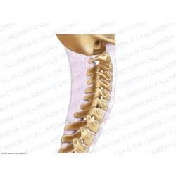 Cervical Spine Lateral View Bones