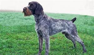 German Wirehaired Pointer Breed Information
