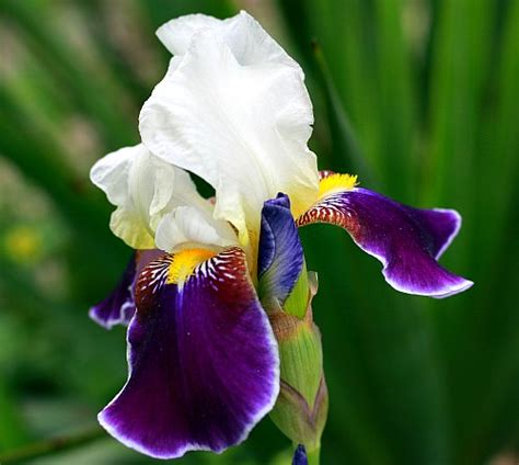 iris identification which type of iris do i