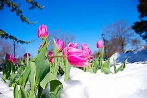 Blumen Im Winter : fotos von tulpen blumen schnee ~ Eleganceandgraceweddings.com Haus und Dekorationen