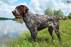 Some popular wirehaired dog breeds | Pets4Homes