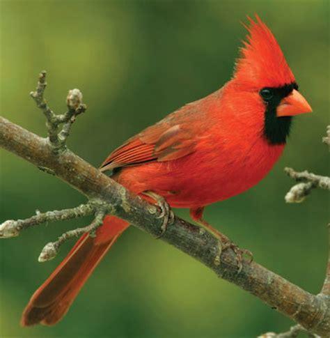 aspen song wild bird food northern cardinal cliparts co