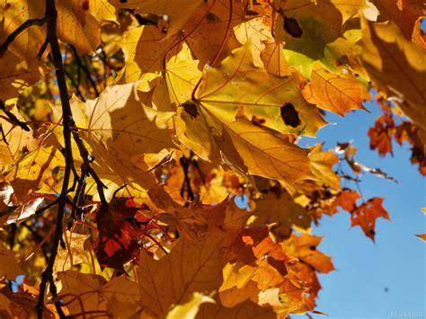 Rudens kļavu lapas Ⅱ - PhotoBlogSite