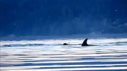 Whale Killer Kayak Attack Shows Hunt Fast