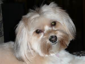 Yorkie Terrier Maltese Mix