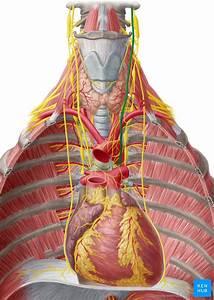 Sistema Vascular E Inerva U00e7 U00e3o Dos Pulm U00f5es  Anatomia