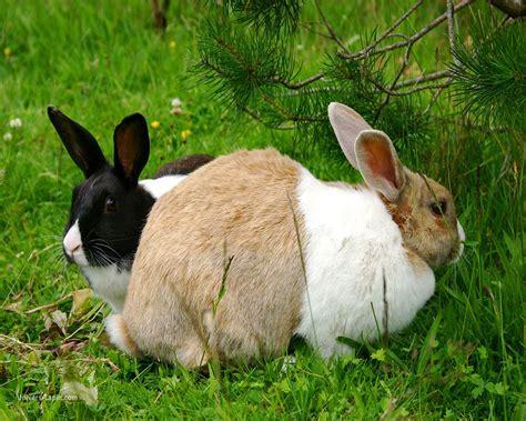 hermine bureau fond d 39 écran de lapin bon gros lapin beige