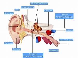 Ear And Throat Anatomy