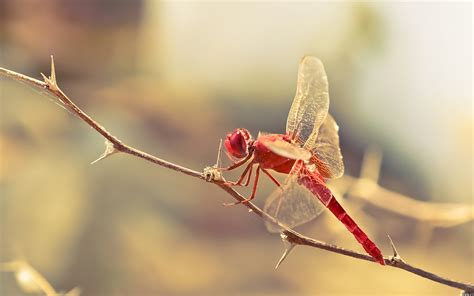 red dragonfly    macro photography