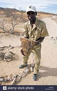 Namibian Guide Shows Welwitschia Mirabilis Root Sample In