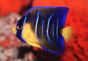 Blue Angelfish Juvenile | www.pixshark.com - Images ...