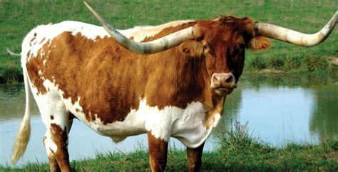 longhorn cattle hd wallpapers background images