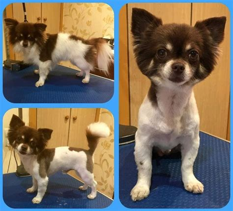 10 best long haired chihuahua haircuts the paws