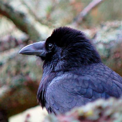 grand corbeau corvus corax en images dinosoria