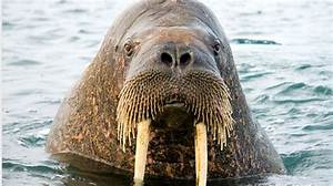 Tundra Animals The Walrus Crash How Greenland Went Bust News The Times