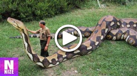 groesste schlangen der welt auf kamera aufgenommen