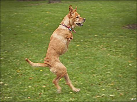 Faith The  Legged Dog Walks Tall
