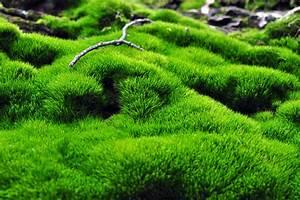Moos Im Garten : moos als bodendecker so pflanzen und pflegen sie es ~ Pilothousefishingboats.com Haus und Dekorationen