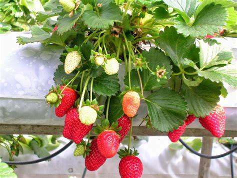 planting strawberries hydroponic strawberries plants pinterest