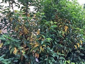 Portugiesischer Lorbeer Gelbe Blätter : portugiesischer kirschlorbeer bekommt gelbe bl tter was k nnen die ursachen sein fragen ~ Eleganceandgraceweddings.com Haus und Dekorationen