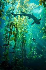 Kelp forest and sharks | Amazing Ocean | Pinterest