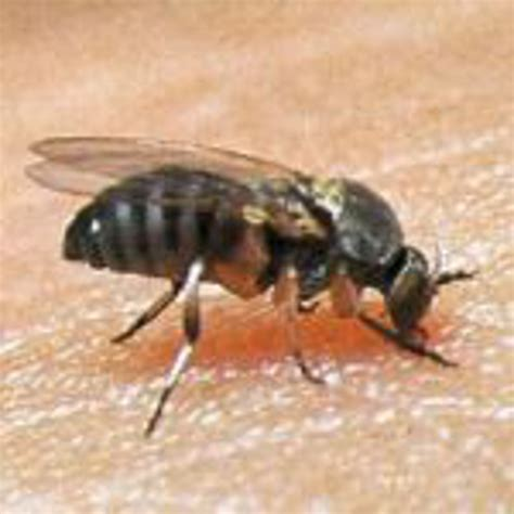 black fly bites  target lesions southcare animal